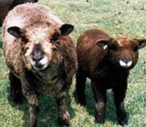 Discussion about Coloured Sheep