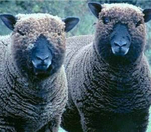 Join the British Coloured Sheep Breeders here