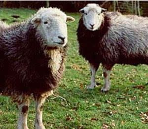Market place for British Coloured Sheep